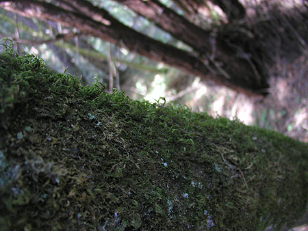 mossy tree at muir woods